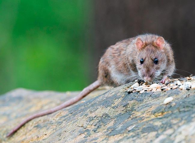 К чему снится крыса сонник: видеть крысу во сне