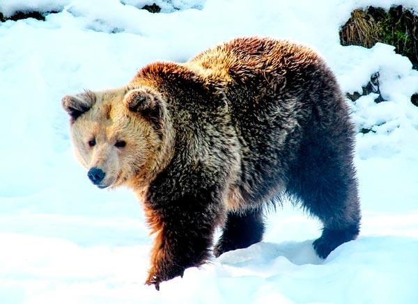 К чему снится черный медведь мужчине